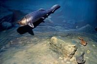 Panser Shark