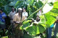 Giant Swamp Taro in Fiji