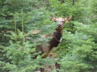 Cow Elk in Grazing Trial