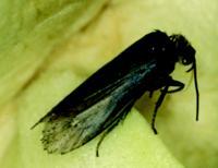 <i>Tegeticula Synthetica</i> Moth