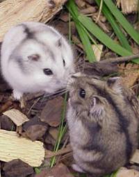 Siberian Hamsters
