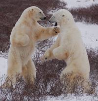 Bears Spar