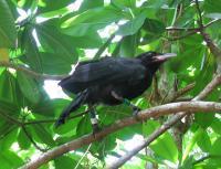 Fledgling Mariana Crow
