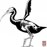 <I>Xenicibis</I> Skeleton
