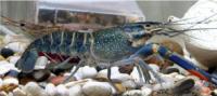 Freshwater Crustacean