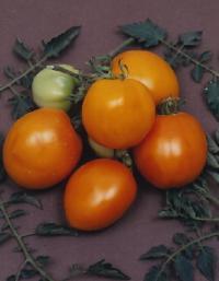 Tangerine Tomato