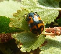<i>Chrysomela lapponica</i>: Adult Beetle