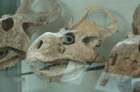 <I>Protoceratops</I> Skull