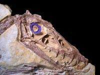 Pterosaur Skull