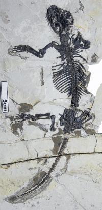 <i>Liaoconodon hui</i> Fossil