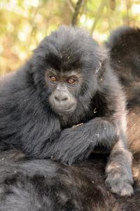 Grauer's Gorilla Baby