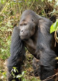 Grauer's Gorilla Silverback