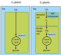 Legacy Biochemistry II: Photorespiration