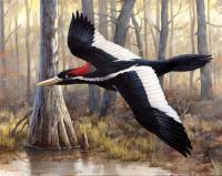 Woodpecker-Audobon