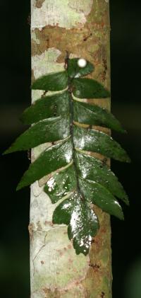 Ants Tambopata Rainy Season