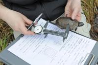 Bog Turtle Study