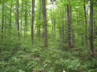 Dense Hardwood Regeneration