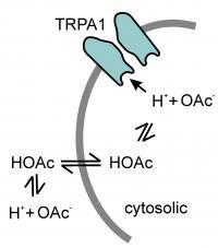 Acetic Acid Activates TRPA1
