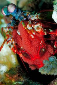 Mantis Shrimp (1 of 2)
