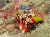 Mantis Shrimp (2 of 2)