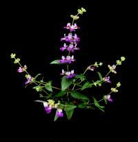 <i>Collinsia heterphylla</i>