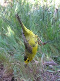 Wilson�s Warbler in a Mist Net
