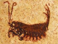 <I>Coxoplectoptera</I> Larva