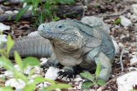 Blue Iguana (1 of 2)