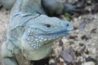 Blue Iguana (2 of 2)