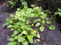 <i>Oxalis simplicifolia</i>