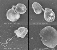 Dehalococcoides