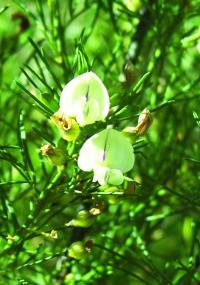 <I>Psoralea margaretiflora</I>