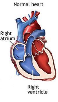 Is a Human Heart like a Mouse Heart?