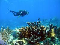Healthy Elkhorn Coral