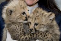 National Zoo Cheetah Cubs