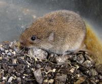 <i>Microtus savii</i>