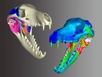 Thylacine Skull Stress