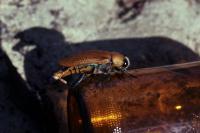 Male Australian Jewel Beetle