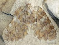<I>Undulopsychopsis alexi</I> gen. et sp. n.