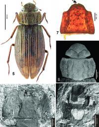 <I>Helophorus sibiricus</I>