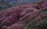 <i>Rhododendron ponticum</i>