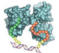 A DNA Synbody