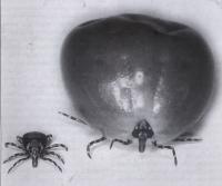 <i>Amblyomma variegatum</i>