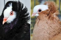 Domestic Pigeons