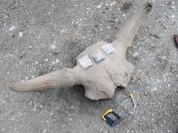 Ancient Bison Bones (1 of 2)