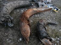 Ancient Bison Bones (2 of 2)