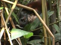 Ebobo, an Adult Male Silverback Western Gorilla