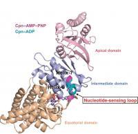 Chaperonin Nucleotide Sensing Loop