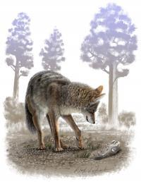 Modern Coyote (<I>Canis latrans</I>) and Pleistocene Coyote Skull (<I>Canis latrans orcutti</I>)