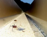 <I>Cataglyphis noda</I> Ants